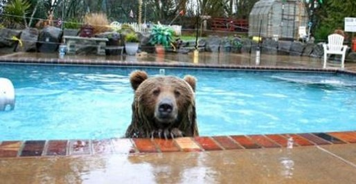 bear-in-pool-reason-why-to-have-pool-enclosure